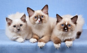 3 Young Ragdoll Cats