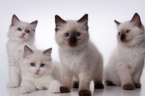 A family of Ragdolls