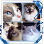 4 ragdoll cats living with Helen Morgan