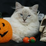 Ragdoll with a pumpkin and skull